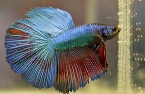 Betta Fish Names: Badass, Funny & Cool Names for Your Pet Fish