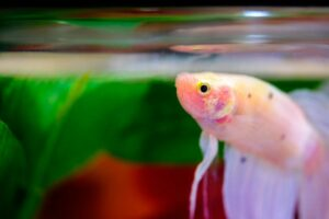 How Long Do Betta Fish Live without Food?