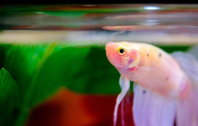 How long do Betta fish survive without food