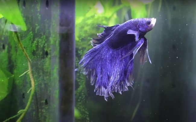 betta fish lasting without food