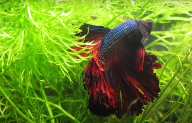 betta fish without food