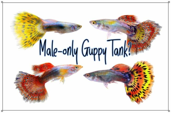 can you keep a male only guppy tank