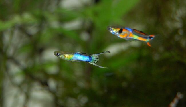guppy males in a tank