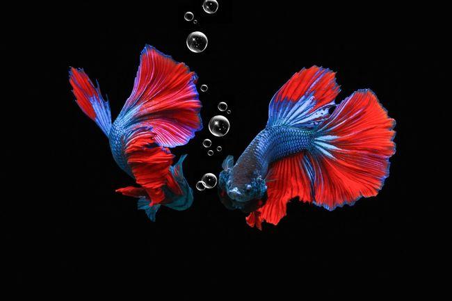 betta males in one aquarium