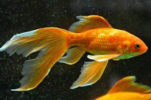 Can Goldfish Eat Bread, Rice or Banana?