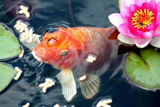goldfish eating rice