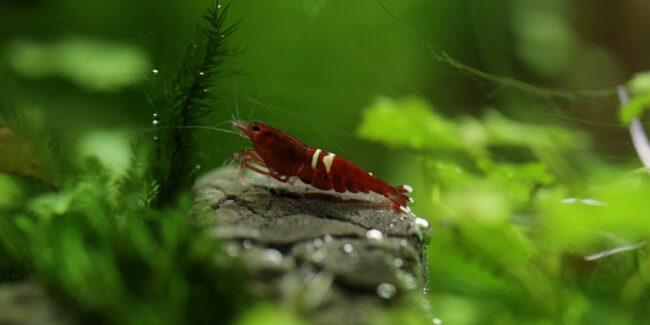 shrimp in a jar
