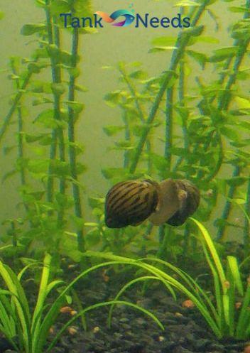 nerite snail tankneeds original photo
